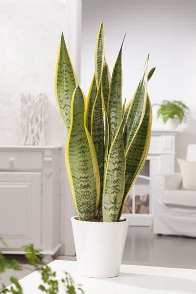plantes dépolluantes langue de belle mère