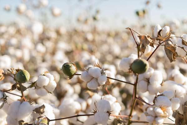 culture de coton bio